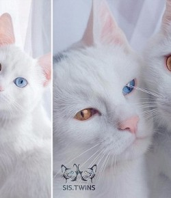Double cuteness!世上最可愛的雙色瞳孔喵咪姐妹花